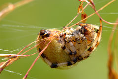 Female of Araneus quadratus spider Stock Photos