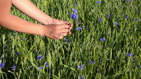 Female arm gather cornflower long stems make them nice bouquet stock footage