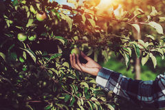 Female arm picking green apple from branch Royalty Free Stock Photography