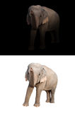 Female asia elephant in the dark and white background. Female elephant standing at night time with spotlight and female elephant isolated stock photo