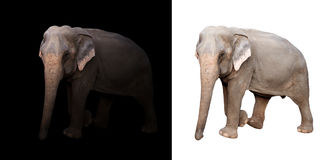 Female asia elephant in the dark and white background. Female elephant standing at night time with spotlight and female elephant isolated stock image