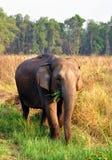 Female asian elephant. Asian female elephant grazing in the grasslands of Jim Corbett National Park, India Stock Image