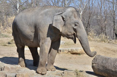 Female asian elephant Royalty Free Stock Images