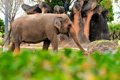 Female Asian elephant walking Stock Photo