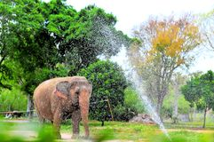 Female Asian elephant & water fountain Royalty Free Stock Images