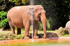Female Asian elephant by the water Stock Image