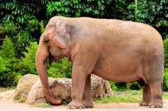 Female Asian elephant in zoo Royalty Free Stock Photo
