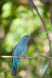 The female Asian Fairy-bluebird Stock Image