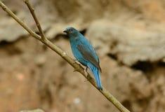 Female Asian Fairy Bluebird (Irena puella) Royalty Free Stock Photos