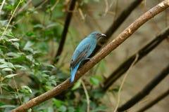 Female Asian Fairy Bluebird (Irena puella) Stock Photos