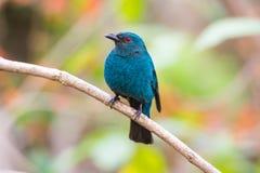 Female Asian Fairy-Bluebird (Irena puella) Royalty Free Stock Photo