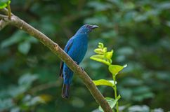 Female Asian Fairy Bluebird  Irena puella stock photos