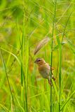 Female Asian Golden Weaver perching on grass stem in paddy field royalty free stock images