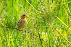 Female Asian Golden Weaver perching on grass stem in paddy field stock images