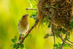 Female Asian Golden Weaver perching near its nest during spawning season royalty free stock photo