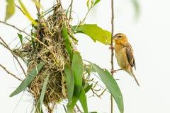 Female Asian Golden Weaver perching near its nest during spawning season stock photos