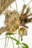Female Asian Golden Weaver perching near its nest during spawning season stock images