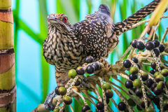 Female Asian Koel Stock Photo