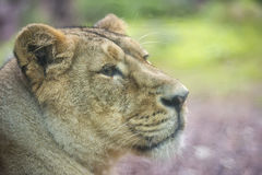 Female asian lion portrait Royalty Free Stock Photography