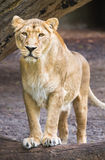 Female asian lioness - Panthera leo Stock Image
