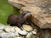 A female Asian Otter coming up onto the rocks after a swim. royalty free stock photography
