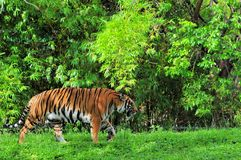 Female Asian tiger walking Royalty Free Stock Image