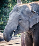 Female Asiatic Elephant Outside Drinking Using Her Trunk Royalty Free Stock Photo