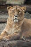 Female Asiatic lion (Panthera leo persica). Stock Photos