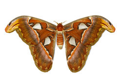 Female attacus atlas moth Royalty Free Stock Photo