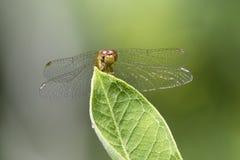 Female Autumn Meadowhawk dragonfly - Ontario, Canada Stock Image