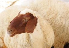 A female awassi sheep Royalty Free Stock Images