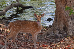 Female Axis Chital Deer Royalty Free Stock Photo