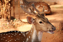 Female axis deer Royalty Free Stock Images