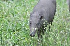 Female babirusa 2 Royalty Free Stock Photos
