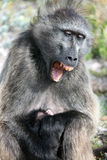 The female baboon with baby yawns Royalty Free Stock Images