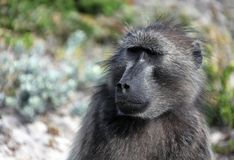 Female baboon looks away. South Africa. Female baboon looks away. Adult monkey in South Africa royalty free stock photos