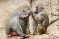 A female baboon louses a male baboon royalty free stock photos