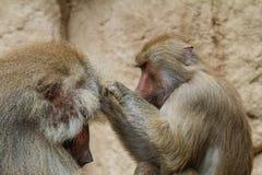 A female baboon louses a male baboon stock image