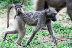 The female baboon moves with cub on the back. Royalty Free Stock Image