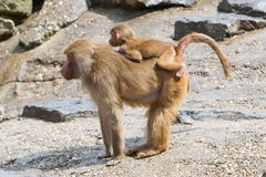 Female baboon with a young baboon royalty free stock photo