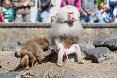 Female baboon with a young baboon Stock Images