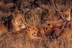 Female and baby lions. Eating zebra carcass, Serengeti Plain, Tanzania Royalty Free Stock Image