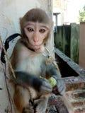 Baby monkey eat grape stock photo
