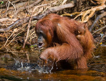 Female and baby orangutan drinking water from the river in the jungle. Indonesia. The island of Kalimantan Borneo. Royalty Free Stock Image