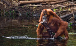 Female and baby orangutan drinking water from the river in the jungle. Indonesia. The island of Kalimantan (Borneo). An excellent illustration stock images