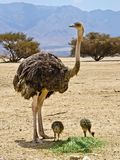 Female and baby ostich at the Negev desert, Israel Royalty Free Stock Photos