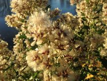 Female Baccharis Halimifolia Plants in the Sun near a Pond in the Fall. Stock Photo