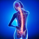 Female back pain. 3d rendered medical x-ray illustration of transparent female Skeleton with back pain and blue background Royalty Free Stock Photos