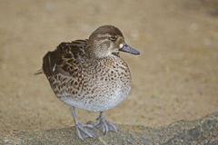 Female Baikal Teal, Anas formosa Royalty Free Stock Images