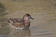 Female Baikal Teal, Anas formosa on water Royalty Free Stock Image